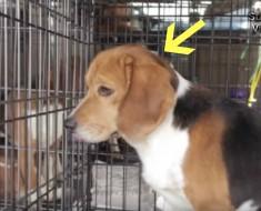 rescate beagles - portada