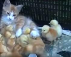 gato y pollos - portada