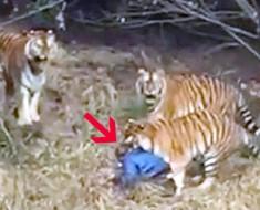 hombre muere por tigres - portada